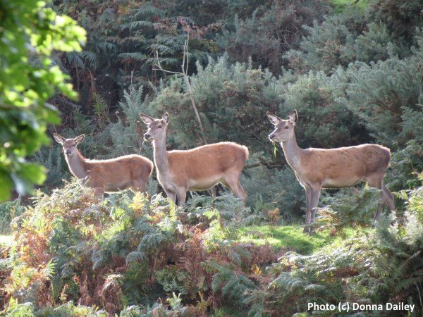 Seeing deer while walking during a cruise down the Caledonian Canal in the Highlands of Scotland