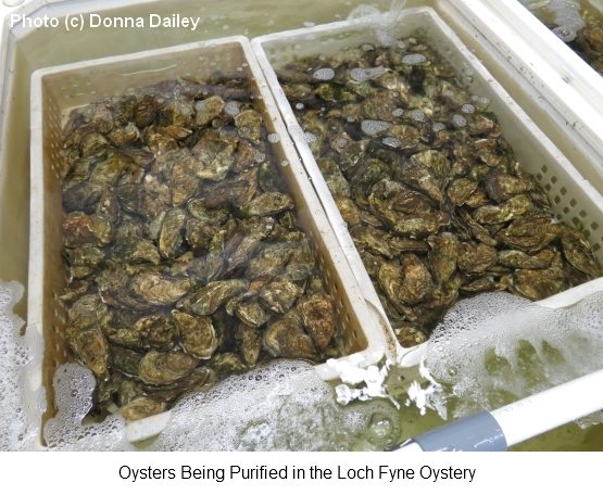 Loch_Fyne_Oyster_Purification_Process