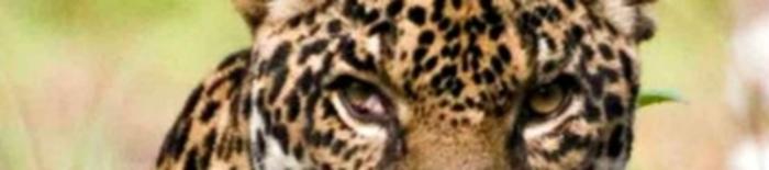 Guyana Jaguar featured 3