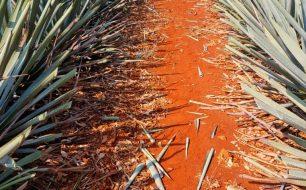 El-Tesoro-Carlos-Camarena-in-his-agave-fields-2